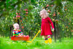 摘苹果的孩子在果子庭院里 库存图片