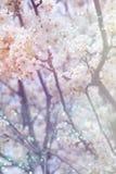 摘要春天樱桃树被弄脏的背景  免版税库存图片