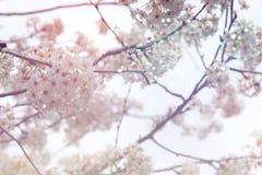 摘要春天樱桃树被弄脏的背景  库存图片