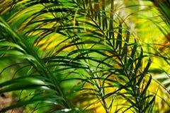 摘要离开neodypsis棕榈树 库存图片