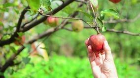 摘从一个分支的男性手成熟苹果果子在果树园在一个明亮的夏日 股票录像