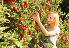 摘从树的秋天女孩红色苹果 白肤金发的妇女年轻人 免版税库存照片