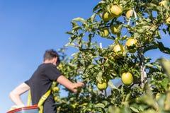 摘绿色苹果的人 免版税库存照片