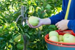 摘绿色苹果的妇女 免版税库存照片