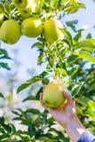 摘绿色苹果的妇女 免版税库存图片