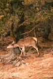 摩擦她的头和脖子在树的一马鹿鹿elaphus 库存照片