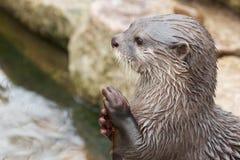 祈祷的水獭 免版税图库摄影