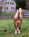 摩根马在牧场地 免版税库存图片