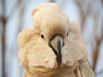 摩罗加群岛的美冠鹦鹉 免版税库存照片