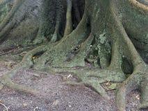 摩顿湾无花果树,细节 免版税库存图片