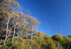 摩洛哥、干燥树和深蓝天的沿海森林 免版税库存图片