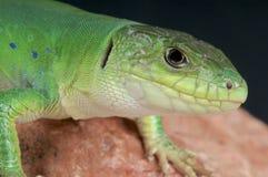 摩洛哥人被注视的蜥蜴/Timon tangitanus 免版税库存图片