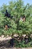 摩洛哥山羊在树上升了吃光圆筒芯的灯树坚果在摩洛哥 免版税库存图片