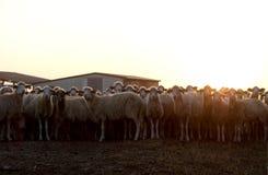 撒丁岛的绵羊 库存照片