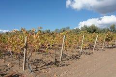撒丁岛 一点葡萄园 图库摄影