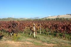 撒丁岛 葡萄园 库存照片