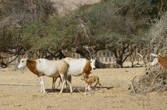 撒哈拉大沙漠在自然保护的短弯刀羚羊属 库存照片