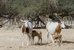 撒哈拉大沙漠在自然保护的短弯刀羚羊属 免版税库存照片