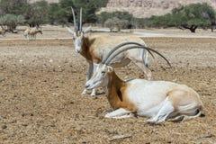 撒哈拉大沙漠短弯刀羚羊属在自然保护的羚羊属leucoryx 免版税图库摄影