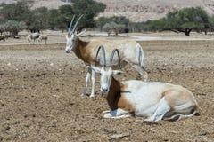 撒哈拉大沙漠短弯刀羚羊属在自然保护的羚羊属leucoryx 库存图片