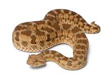 撒哈拉有角的蛇蝎-角蝰蛇角蝰蛇,毒,白色backg 免版税库存图片