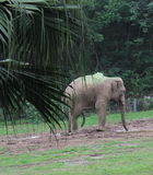 撒尿一头老的大象 库存照片