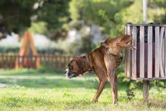 撒尿在公园的大狗拳击手 免版税库存照片