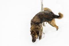 撒尿在雪的狗 库存图片