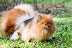 撒尿在绿草的Pomeranian狗在庭院里 免版税库存照片