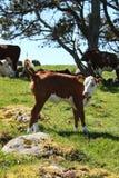 撒尿逗人喜爱的小牛 库存照片