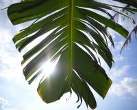 撕裂有阳光和天空的香蕉叶子 免版税库存照片