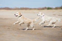 播放海滩的两条金毛猎犬狗 免版税库存照片