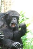播放Air Guitar和嘴唇Synching的黑猩猩 库存照片