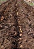 播种土豆,种子的过程。 免版税图库摄影
