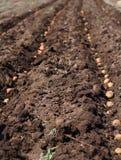 播种土豆,种子的过程。 免版税库存照片