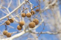 播种垂悬从分支的美国梧桐树的荚 免版税图库摄影