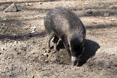播种比萨扬人有疣的猪, SU cebifrons negrinus, 免版税库存照片