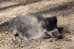 播种比萨扬人有疣的猪, SU cebifrons negrinus, 库存照片