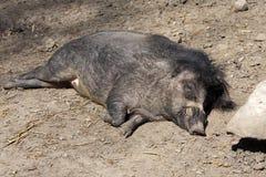 播种比萨扬人有疣的猪, SU cebifrons negrinus, 库存图片
