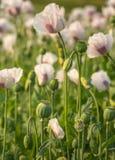 播种白色和紫色色的鸦片荚在领域的 免版税库存照片