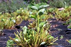 播种的草莓灌木 图库摄影