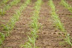 播种种田。 库存图片
