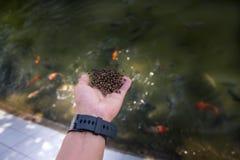 播种饵料的鱼农夫在池塘 免版税库存照片