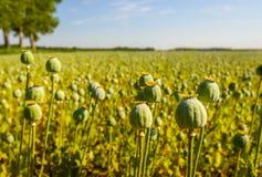播种鸦片罂粟胶囊在领域的 免版税库存照片