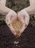 播种麦子 免版税图库摄影