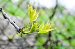 操刀新鲜,新的叶子开花反对可怕金属条板箱/ 库存图片