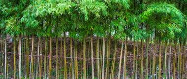 操刀的竹子 库存图片