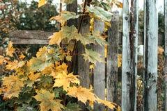 操刀草甸木夏天的向日葵 老灰色董事会 木背景 篱芭在一秋天天本质上 木老的板条 使用叶子 免版税库存照片
