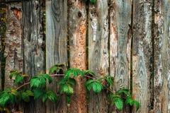 操刀草甸木夏天的向日葵 老灰色董事会 木背景 篱芭每秋天天本质上 木老的板条 使用叶子  库存图片