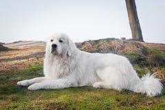 擦亮Tatra护羊狗 在它的品种的榜样 亦称Podhalan 库存照片